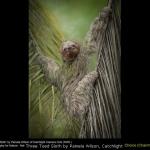 Three Toed Sloth by Pamela Wilson, Catchlight