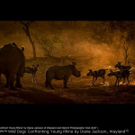 Wild Dogs Confronting Young Rhino by Diane Jackson, Wayland