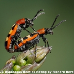 Aspargus Beetles Mating by Richard Revels, Cambridge