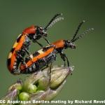 Aspargus Beetles Mating by Richard Revels, Cambridge