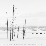 Bison of Yellowstone by Sarah Kelman, Cambridge