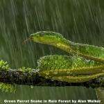 Green Parrot Snake in Rain Forest by Alan Walker, Keswick