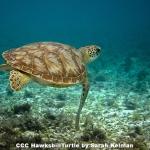 Hawksbill Turtle by Sarah Kelman, Cambridge