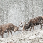 Red Deer Sparring by Sarah Kelman, Cambridge