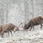 Red Deer Sparring by Sarah Kelman, Cambridge