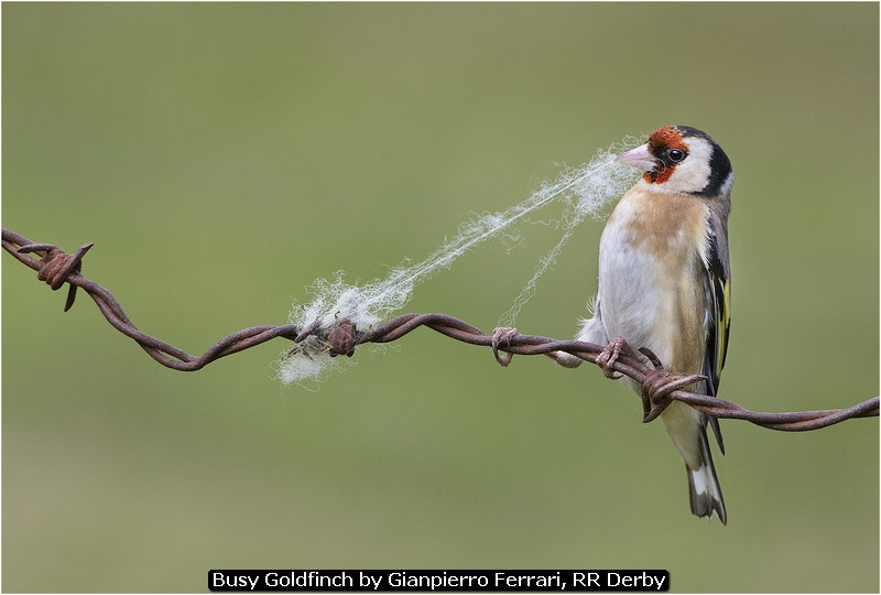 Busy Goldfinch by Gianpierro Ferrari, RR Derby