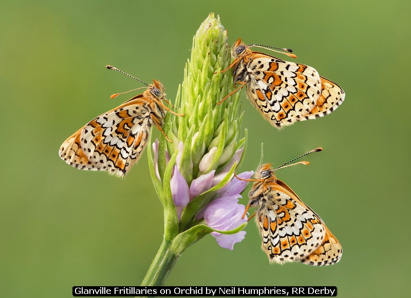 Glanville Fritillaries on Orchid by Neil Humphries, RR Derby