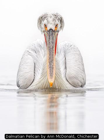 Dalmatian Pelican by Ann McDonald, Chichester