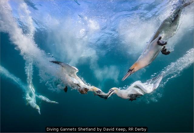 Diving Gannets Shetland by David Keep, RR Derby