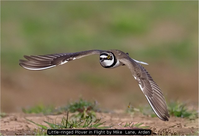 Little-ringed Plover in Flight by Mike  Lane, Arden