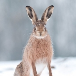 Brown Hare by Alan Dixon, Norfolk