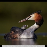 Great Crested Grebe with Chick by Austin Thomas, Wigan 10