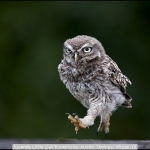 Juvenile Little Owl Running by Austin Thomas, Wigan 10