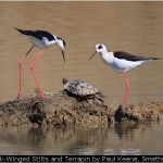 Black-Winged Stilts and Terrapin by Paul Keene, Smethwick