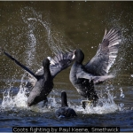 Coots fighting by Paul Keene, Smethwick