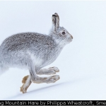 Running Mountain Hare by Philippa Wheatcroft, Smethwick