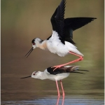 Black Winged Stilts Mating by Paul Keene, Smethwick
