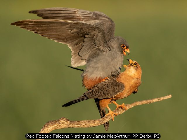 Red Footed Falcons Mating by Jamie MacArthur, RR Derby PS