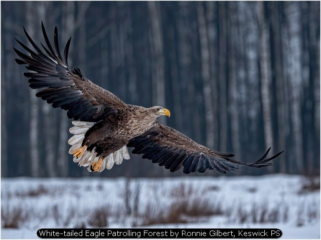 White-tailed Eagle Patrolling Forest by Ronnie Gilbert, Keswick