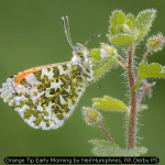 Orange Tip Early Morning by Neil Humphries, RR Derby PS