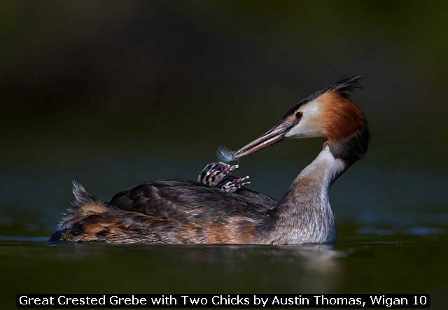 Great Crested Grebe with Two Chicks by Austin Thomas, Wigan 10