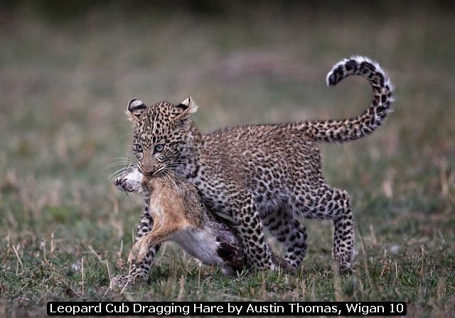 Leopard Cub Dragging Hare by Austin Thomas, Wigan 10