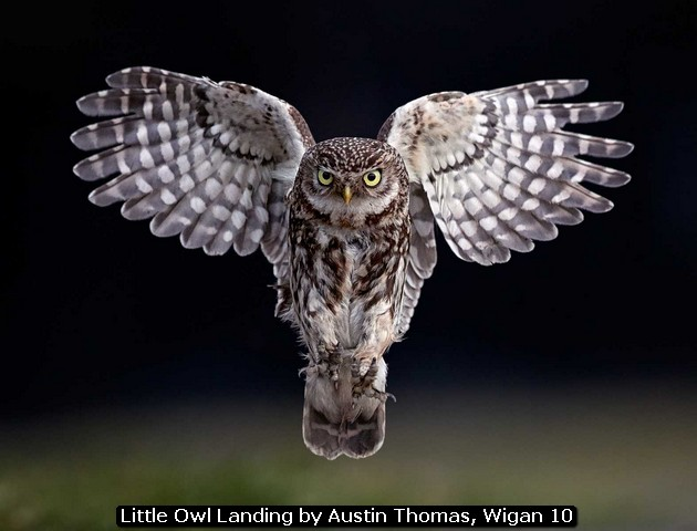 Little Owl Landing by Austin Thomas, Wigan 10