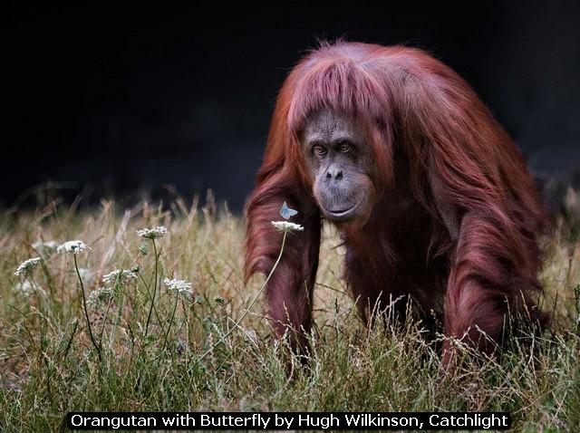 Orangutan with Butterfly by Hugh Wilkinson, Catchlight