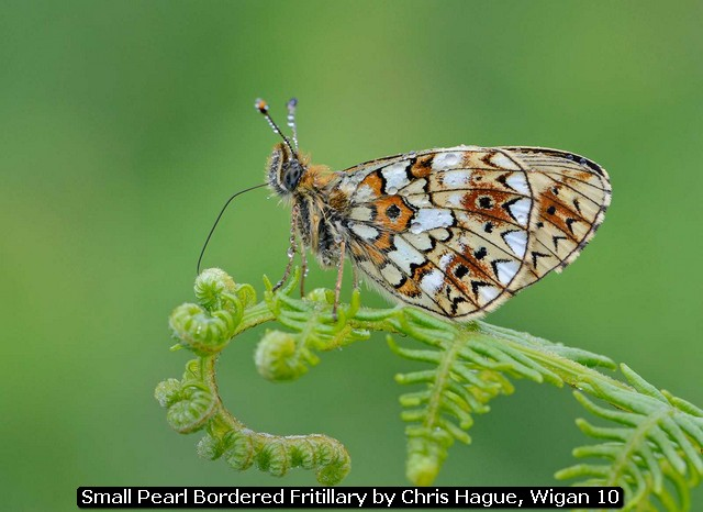 Small Pearl Bordered Fritillary by Chris Hague, Wigan 10