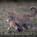 Leopard Cub Dragging Hare by Austin Thomas, Wigan 10