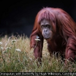 Orangutan with Butterfly by Hugh Wilkinson, Catchlight