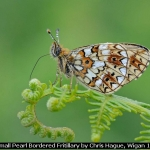Small Pearl Bordered Fritillary by Chris Hague, Wigan 10