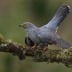 Cuckoo, Ed Willis (SPF)