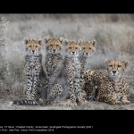 Cheetah Family by Annie Nash, EAF