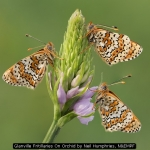 Glanville Fritillaries On Orchid by Neil Humphries, NEMPF
