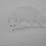 Arctic Fox, Michael Windle ARPS DPAGB (MCPF)
