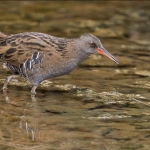 Water Rail, Carol Minks DPAGB (NCPF)