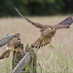 Stop Thief Kestrels, Ted Clements (YPU)