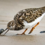 Turnstone, Chris Briggs (SPF)