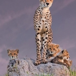 Cheetah with Cubs at Dawn, Arun Mohanraj (L&CPU)