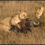 Lioness Catching Warthog, Ian Whiston DPAGB (L&CPU)