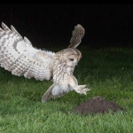 Tawny Owl taking a Mole, Roy Rimmer (L&CPU)