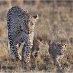 Female Leopard with Cub, Frank McGowan (MCPF)