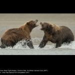 Brown Bear Fight Alaska by Gordon Rae, Dumfries