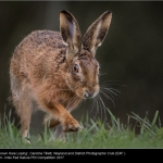 Brown Hare Loping by Caroline Tillet, Wayland
