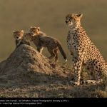 Cheetah with Family by Ian Whiston, Crewe