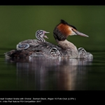 Great Crested Grebe with Chicks by Damian Black, Wigan 10