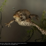 Mating Toads by Mike Hudson, Evolve Group