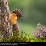 Pine Marten (Martes martes) by Phil Morgan, Inn Focus