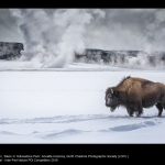 Bison in Yellowstone Park by Annette Hockney, LCPU